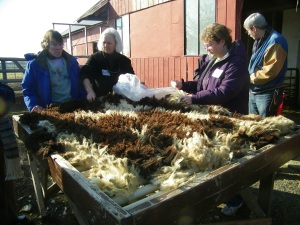 Skirting fleeces (removing dirty and coarser sections) and examining the fiber quality.
